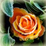 Klasiskais nagu dizains: salnu ziedi